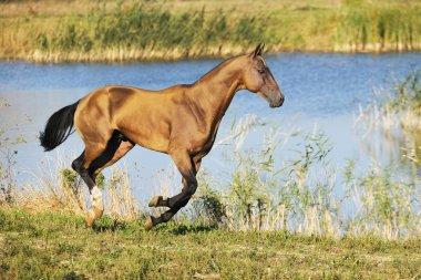 Buckskin Akhal-Teke horse runs in gallop along water in the summer field. Horizontal, side view.