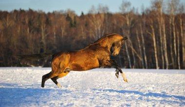 Buckskin akhal teke stallion plays in the snowy field in winter standing on hind legs. Horizontal, side view, in motion.