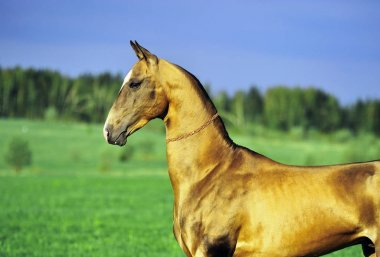 Watchful Akhal Teke horse stands in the field in summer day. Horizontal, portrait, side view.