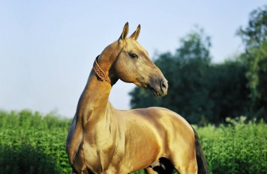 Portrait of buckskin horse looking to the right while standing outside in the field. Horizontal,sideways