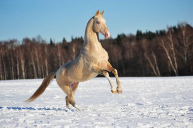 Akhal teke stallion rears in winter field. Horizontal, side view, in motion.