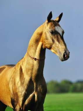 Portrait of a golden Akhal-Teke stallion out in the pasture. Vertical,sideways.