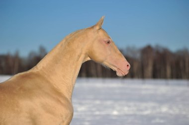 Cremello Akhal Teke horse stands in the winter pasture in the chill sunny day. Horizontal, portrait, side view.