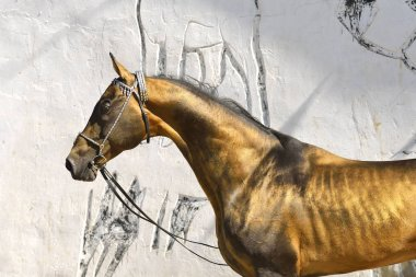 Golden buckskin Akhal Teke stallion stands beside grey teztured wall bridled and held. Horziontal, side view, portrait.