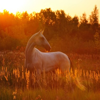 White Akhal Teke horse stands inthe field full of flowers in the sunset lights. Square.