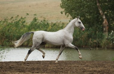 Grey Akhal Teke stallion proudly runs in trot along waterline in the late summer. Horizontal, side view, in motion.