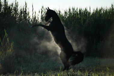 Black Akhal Teke stallion attacking and rearing into the air showing two front legs. Horse is hot and sweaty, producing vapor. Horizontal, from the back, in motion.
