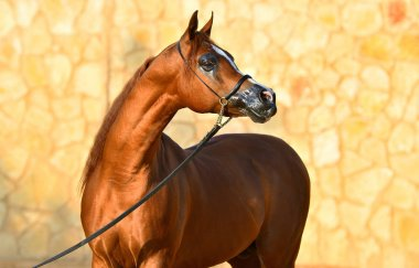 Portrait of a chestnut purebred arabian stallion in a show halter beside a stone wall. Horizontal, front view.