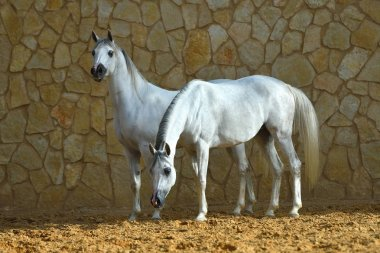 Two white purebred arabian mares standing beside a stone wall. Horizontal,  side view.