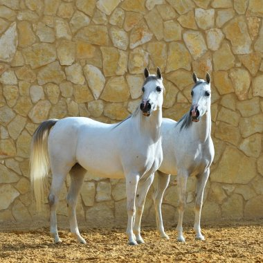 Two white purebred arabian mares standing beside a stone wall. Square,  side view.