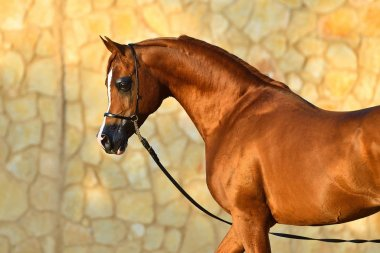Portrait of a chestnut purebred arabian stallion in a show halter beside a stone wall. Horizontal, side view.