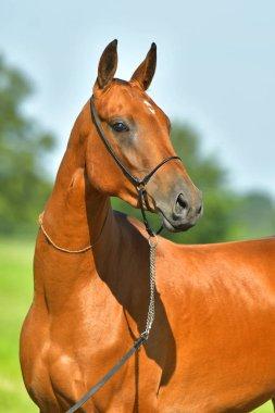 Bay Akhal Teke horse standing in the summer field. Animal portrait.