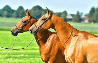 Two Akhal Teke horses standing side by side in the summer field. Animal portrait.