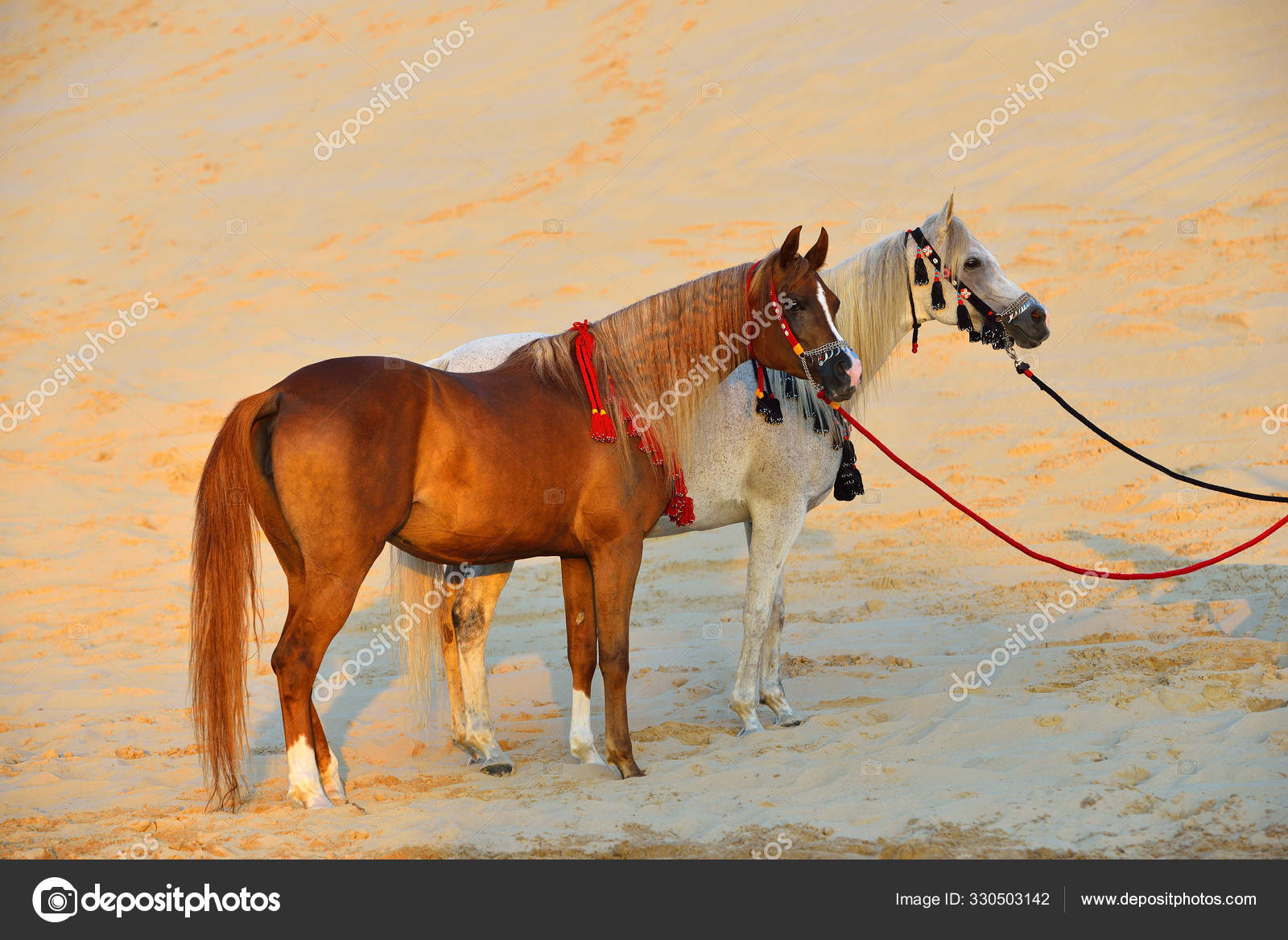Two Arabian Horses Traditional Tack Halters Breastplates Standing Sand Desert Stock Photo C Arthorse 330503142