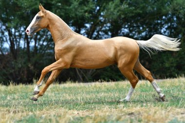 Purebred palomino Akhal Teke stallion running in gallop on the grass in summer.