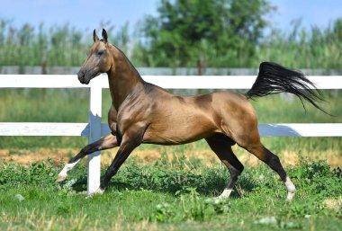 Buckskin Akhal teke stallion running in gallop along white fence un summer pasture.