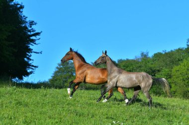 Two akhal teke horses running in the pasture. Happy herd animals.