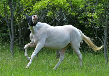 Funny cremello Akhal Teke horse runs in the fly mask in the field. Animal insect protection.