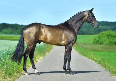 Exterior photo of buckskin akhal teke stallion in a field. Equestrian sports horse.