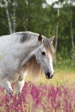 Grey andalusian horse walking and eating in the gren field with violet flowers. Animal portrait.