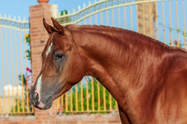 Chestnut arabian horse portrait in motion agains paddock with bars.Animal portrait, close.