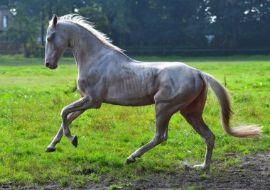 Dirty cremello akhal teke breed  stallion running in gallop in the field in backlight.