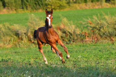 Bay foal with large white blaze running in gallop around field.