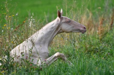 Cremello akhal teke breed foal is trying to stand up in the green meadow. Animal portrait.