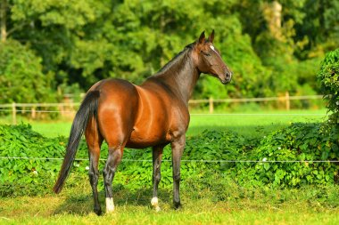 Bay horse in the pasture with electric fence in summer standing free and looking back.