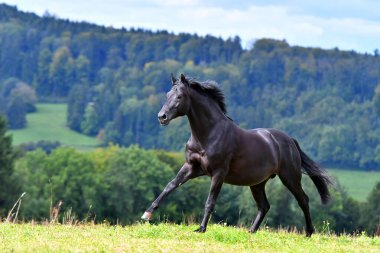 Black hannoverian horse running in the field near forest in summer light.