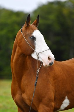 Bay akhal teke stallion with large white spot on the head posing in show halter against green trees in summer. Animal portrait.