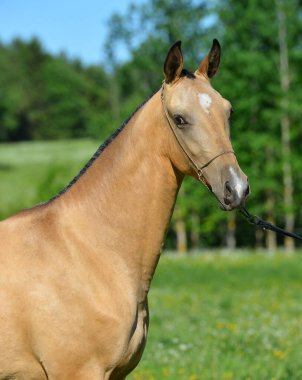 Golden buckskin Akhal Teke stallion in a show halter standing outside and looking into the distance. Portrait.