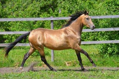 Buckskin akhal teke breed horse running in gallop outside in the paddock along wooden fence in summer. Animal in motion.