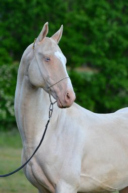 Perlino Akhal Teke stallion with blue eyes in a show halter outside. Portrait.