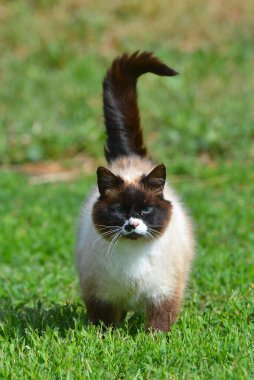 Blue eyed siamese cat walking on the grass outside in summer. Animal portrait.