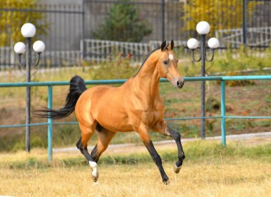 Bay akhal teke breed horse running in gallop in the sand paddock with metal fence. Animal in motion.