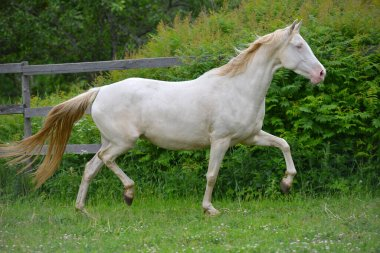 Cremello akhal teke breed horse running in trot in the green paddock, Animal in motion.