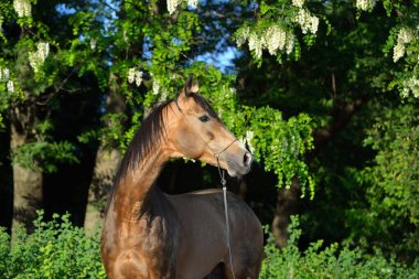 Portrait of a buckskin Akhal Teke stallion standing in the shade of lilac trees in show halter. Vertical, side view.