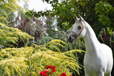 White arabian horse standing in the green garden with red roses. Horizontal, front view,  portrait.