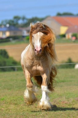 Cremello pinto Irish cob stallion runs in trot through field in summer. Portrait, front view, in motion.