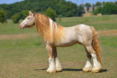 Cremello pinto Irish cob stallion stands in field in summer. Horizontal, side view, exterior.