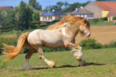 Cremello pinto Irish cob stallion runs in gallop through field in summer. Horizontal, side view, in motion.