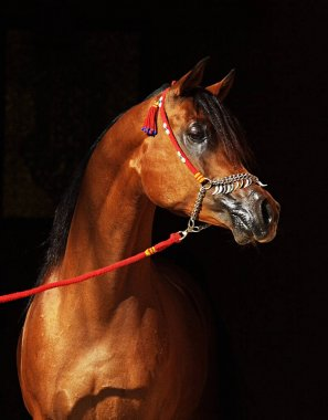 Bay arabian stallion in show halter isolated on the black background.