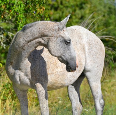 Light grey Akhal Teke horse stands in the summer field bending neck. Square, portrait.