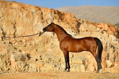 Purebred bay arabian stallion posing in the rocky mountains. Horizontal, side view.