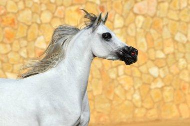 Portrait of a light grey arabian stallion running beside stone wall. Horizontal, side view, in motion.