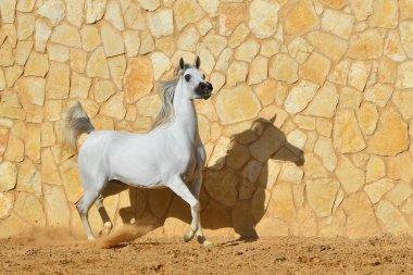 Purebred light grey arabian stallion running beside stone wall. Horizontal, side view, in motion.