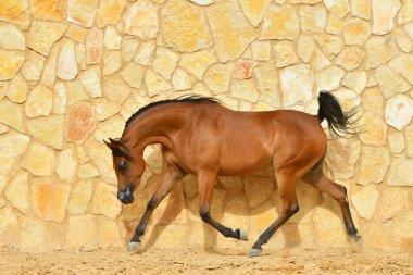 Purebred bay arabian stallion runs in trot along stone wall. Horizontal, side view, in motion.