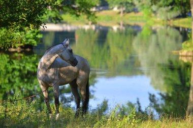 Buckskin Akhal Teke horse standing near the lake in the summer forest. Horizontal, portrait.