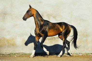 Dark buckskin Akhal Teke stallion runs in trot along white wall. Horizontal, side view, in motion.